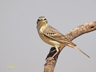 Bisbita campestre (Anthus campestris) (30)