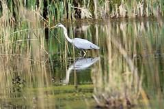 J78A0421 (M0JRA) Tags: birds flight flying wildlife rats walks gardens parks fields trees lakes ponds ducks swans rspb