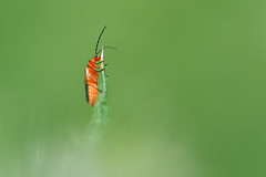 Rhagonycha fulva (luporosso) Tags: nature naturaleza naturalmente nikon italia primavera printemps spring buz bug macro insect closeup nikonitalia luporosso verde green d500 nikond500
