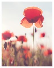 Poppies (sabrinasteiger1) Tags: poppies poppy mohnblume feld field sommerwiese frühling spring blumenwiese natur nature bokeh nahaufnahme macro germany bayern bavaria wonderful gegenlicht licht sonne sonnenuntergang