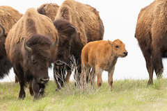 Bison calf and adults