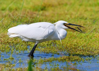 Little Egret with lunch