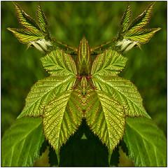 180518-1240-BRAMBLE MIRRORED (28HR) Tags: wwt wwtbarnes londonwetlandcentre bramble leaf leaves mirrorimage