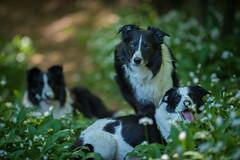 The Pack (JJFET) Tags: border collie dog sheepdog herding