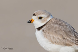 Piping Plover | 2018 - 5