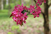 IMG_2213 (Joan van der Wereld) Tags: spring nature flowers blossoms blossoming tree pink green