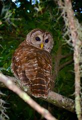 Barred Owl (donjuanmon) Tags: owl barred florida donjuanmon nikon nature cliche clichesaturday hcs