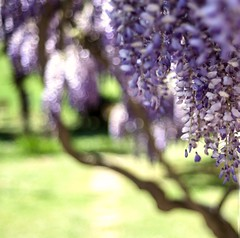 Wisteria (Stefano Rugolo) Tags: stefanorugolo pentax k5 pentaxk5 smcpentaxm50mmf17 bokeh depthoffield spring wisteria purple italy