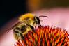 A bumblebee at work (westrail) Tags: nikon nikkor d2x dslr f28 digicam digitalkamera afs105 lens objektiv fotograf photographer andreasberdan omot youmademyday europa europe österreich austria hummel bumblebee