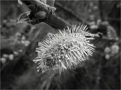 Pussy Willow (Julie (thanks for 9 million views)) Tags: topazglow pussywillow monochrome hmbt canonixus170 flora flower beautifulnature bw blackandwhite tree bokeh macro 2018onephotoeachday salix postprocessed