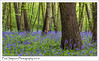 Bluebell Wood (Paul Simpson Photography) Tags: bluebell bluebells scunthorpe paulsimpsonphotography nature naturalworld flowers flower blueflowers april2018 springflowers woodland forest trees leaves rain imagesof imageof photoof photosof