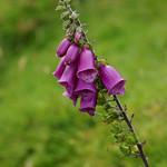 Foxglove in Scotland (Digitalis purpurea) thumbnail