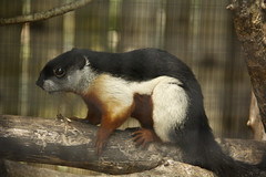 Prevost's squirrel (Callosciurus prevostii) (ucumari photography) Tags: ucumariphotography zoomiami miami florida fl animal mammal march 2018 prevostssquirrel callosciurusprevostii dsc3662 specanimal