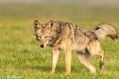 My Territory (Ronda Hamm) Tags: blueeyes pee coyote mammal dog canon7dii pointreyesnationalseashore nature 100400mkii wildlife animal