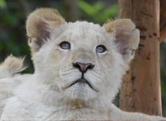 White Lion Cub - Zoo Amneville (Mandenno photography) Tags: animal animals white lion cub cubs whitelion lions lioncub zoo france frankrijk amneville zooamneville ngc nature dierenpark dierentuin dieren