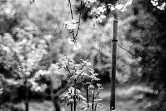 blurred garden (Fearghàl Nessbank) Tags: nikon d700 helios kmz russianlens m42 helios44m4258 blackwhite monochrome garden blurred art