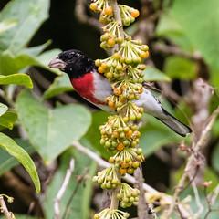 Wild Tobacco Rose (Kamal50) Tags: asawright bird caribbean rosebreastedgrosbeakpheucticusludovicianus trinidad westindies avifauna male nature wildlife