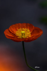 Poppy 雛芥子 (uko2) Tags: canon canoneos7dmark canonef100mmf28macrousm canon7dm2 canonflickraward flower flora fleurs 花 flores fiore