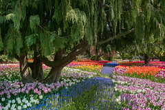 Roozengaarde (Kim Wilkinson) Tags: tulip tulips garden spring colorful flowers path tree beauty skagit valley roozengaarde washington botanical
