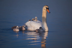 Family Outing (alex saberi) Tags: swans swan birds nature wildlife animals richmondpark nationalgeographic richmond london lake water cygnets babies reflections