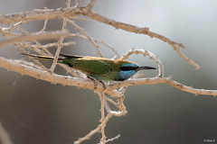 Green bee-eater (Dave 5533) Tags: greenbeeeater bird wild animal outdoor nature canoneos1dx canon1dx wildlifeinisrael birdphotography birdsinisrael naturephotography wildlifephotography ngc npc