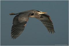 Reflections on Flight (westcoastcaptures) Tags: ardeaherodiasfannini greatblueheron esquimaltlagoon bird waterbird reflection sunlit lowsun wingspan inflight bif sonya99ii minoltaaf400f45hsg minoltaapoii14xteleconverter