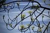 éveil (bulbocode909) Tags: valais suisse éveil printemps arbres branches ciel nuages bleu vert