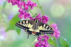 Garden magic (sylviafurrer) Tags: schwalbenschwanz schmetterling papilionmachaon butterfly swallowtail garten garden blume flower flieder lilac frühling springtime alittlebeauty specanimal coth specanimalphotooftheday