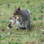 Squirrels of The University of Washington - May 8th, 2018 (Seattle, Washington) thumbnail