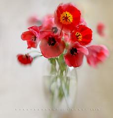 Poppy look-a-likes (Franci Van der vyver (Carmen Tulum)) Tags: tulips vase flowers flowersinvase