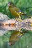 _DSC3948 (vilaramon) Tags: verdierdeurope carduelischloris europeangreenfinch passériformes fringillidés