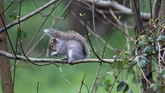 Eastern gray squirrel (Sciurus carolinensis) - Cullompton Leat Fields - April 2018 (Dis da fi we) Tags: sciurus carolinensis eastern gray squirrel cullompton leat fields invasive species