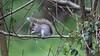Eastern gray squirrel (Sciurus carolinensis) - Cullompton Leat Fields - April 2018 (Dis da fi we) Tags: sciurus carolinensis eastern gray squirrel cullompton leat fields invasive species