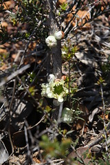 Leptospermum spinescens (Marg and Jeff Langley) Tags: westernaustralia flora flower heath wildflower myrtaceae native plant lateriticgravel white