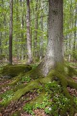 Sommerskogen- (Lisbeth Pettersen) Tags: blomster skog tre mose løv grønt vår hvitveis natur fkiwers moss trees leaves green spring nature
