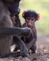 Mother & child (leendert3) Tags: leonmolenaar southafrica krugernationalpark wildlife nature chacmababoon mammals ngc npc