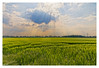 A wheat field in Germany. (wk4ever) Tags: germany wheat field