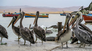 Pelicans waiting for the fish