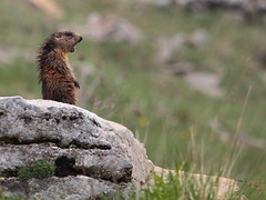L'allarme (Paolo Bertini) Tags: alpine alpi marmot marmota marmotta lessinia allarme alarm