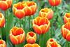 Tulips (YY) Tags: tulips tulip flower flowers netherlands keukenhof lisse southholland