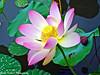 Perry Giant Sunburst Lotus Flower (GerdaKettner) Tags: lotusflowers nelumba nelumbos blossoms flowers lotusflower gardening chicagobotanicalgarden