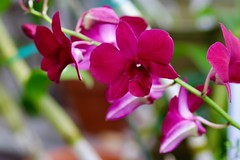 Orchids (ole_G) Tags: