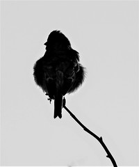 Common Linnet - Rear Silhouette (Gilli8888) Tags: northeast countryside nikon p900 coolpix northumberland birds blackandwhite druridge druridgeponds commonlinnet linnet perch branch wetlands