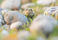 Dans les galets III (Eric Penet) Tags: animal sauvage somme baie picardie france faune nature wildlife wild mai printemps crapaud calamite toad amphibien batracien hâble ault galets macrophotographie macro