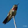 Broad-tailed Hummingbird (dcstep) Tags: a7r0091dxo hummingbird broadtailhummingbird bird cherrycreekstatepark colorado usa aurora sonya7riii fe100400mmf4556gmoss fe20xteleconverter allrightsreserved copyright2018davidcstephens dxophotolab handheld nature urban urbannature