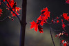 In the Light of Evening (Thousand Word Images by Dustin Abbott) Tags: crimsondress bokeh lens leaf adobelightroomcc canon5d4 alienskinexposurex3 dustinabbottnet thousandwordimages tamron70210mmf4divcusd pembroke maple dustinabbott review photography petawawa 2018 canoneos5dmarkiv 5dmarkiv ontario canada test comparison adobephotoshopcc photodujour ca
