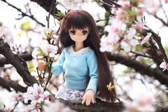 Cherry Blossom (Hazy June) Tags: azone azoneinternational azonedoll yuzuha pureneemo fashiondolls spring garden blossom cherryblossom