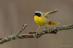 Common Yellowthroat Warbler (Earl Reinink) Tags: bird wildlife nature photography animal woods trees branch spring outdoors earl reinink earlreinink warbler yellow commonyellowthroatwarbler ziaduaodza