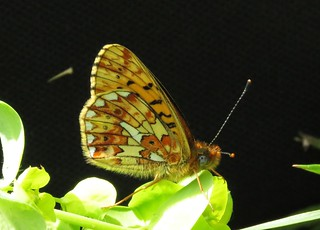 Pearl Bordered Fritillary