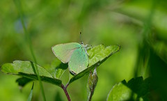 Green Hairstreak - Callophrys rubi (favmark1) Tags: greenhairstreak butterfly kent downs spring britishbutterflies kentbutterflies